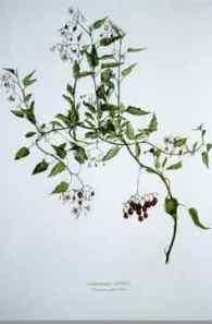 Laurie Walker, Wandering Bower (Solanum planetum), 1989 (1 de 2 éléments)